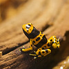 Frogs : Our pet poison dart frogs